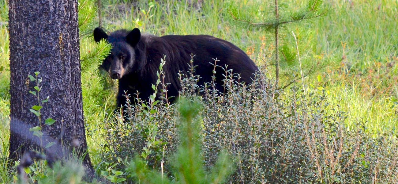 National park safety. Don't approach black bears or other animals