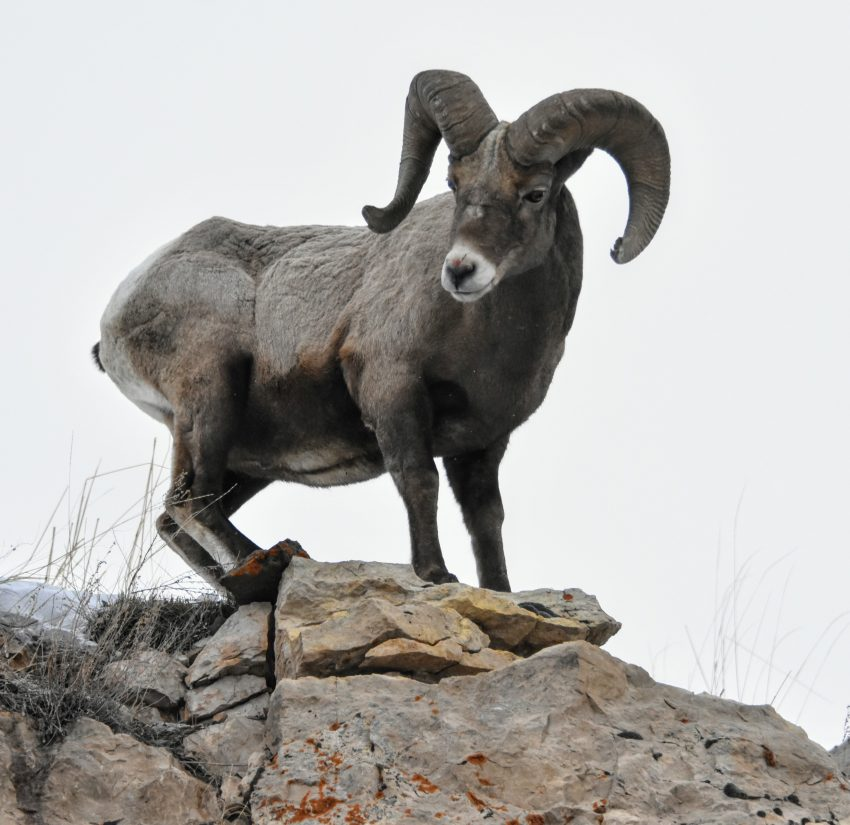 A Bighorn Sheep stands guard over the entrance to Yellowstone's Lamar Valley.