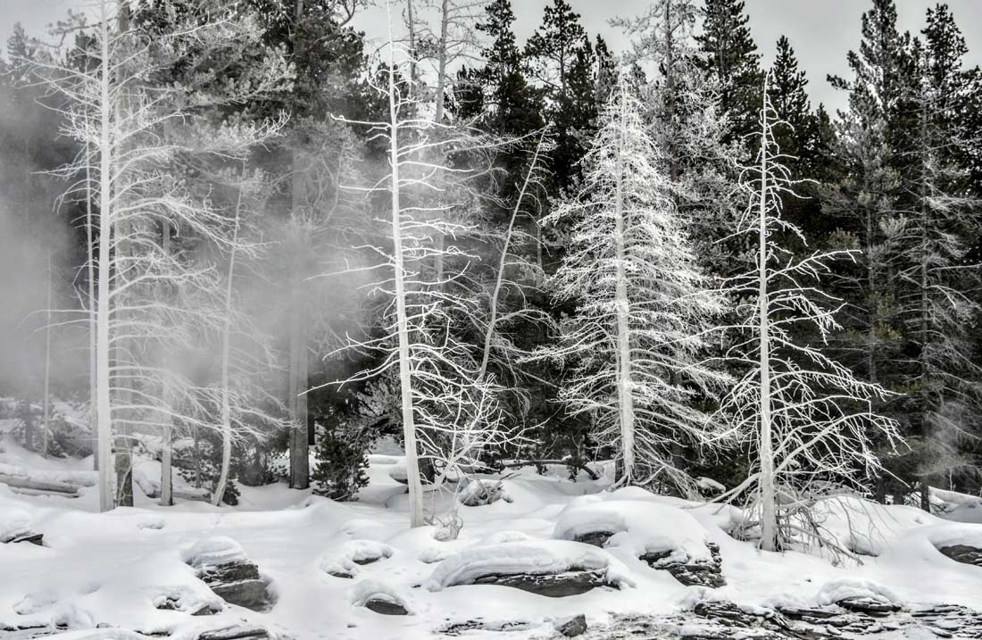 "Unique to Yellowstone are ""ghost trees."" Steam and geyser rain freeze on nearby trees creating a winter wonderland."