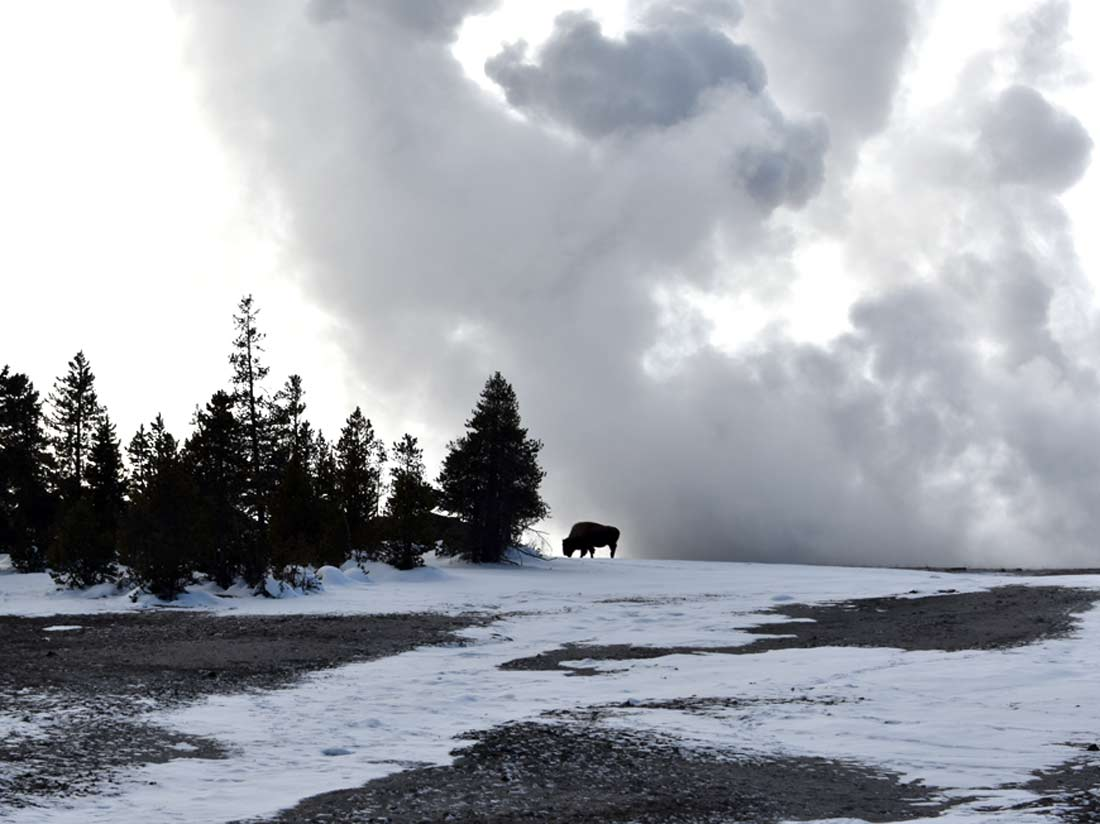 A bison grazes on the horizon with a steamy background at Yellowstone National Park.