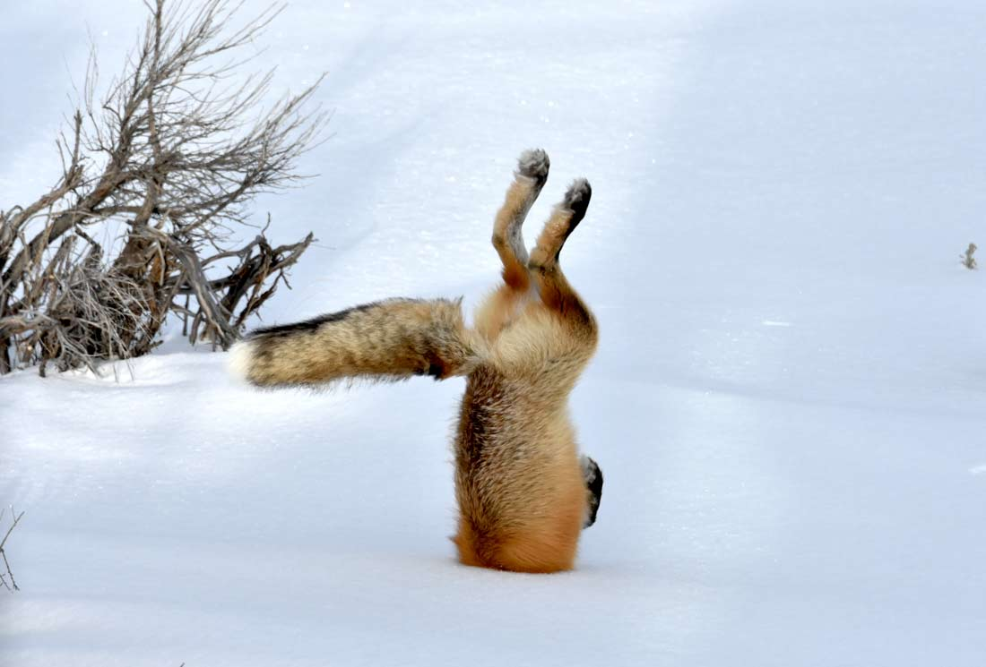 We were surprised when the fox dove headfirst into the snow to snare his prey in a dance called mousing.