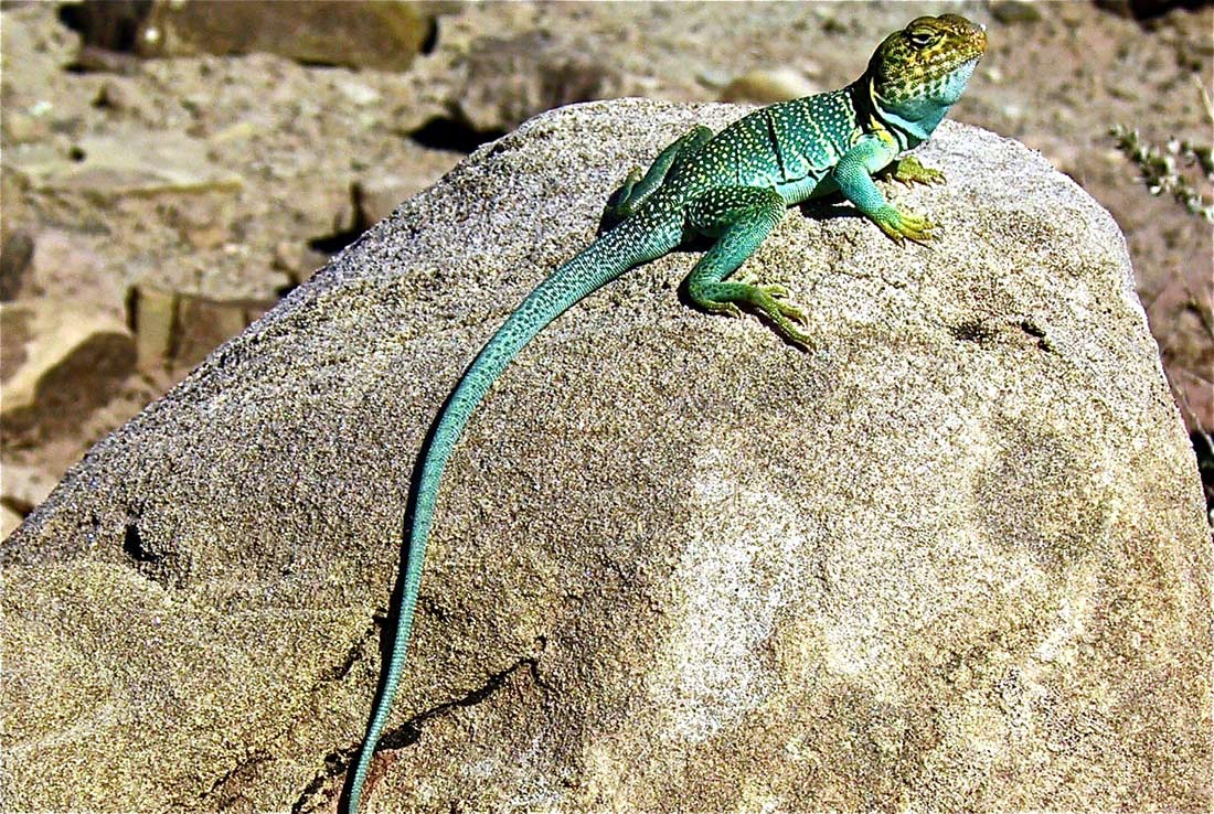 how to see more wildlife collared lizard
