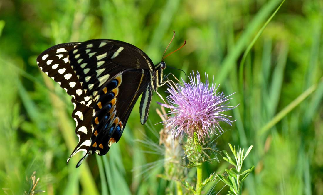take better wildlife pictures swallowtail butterfly