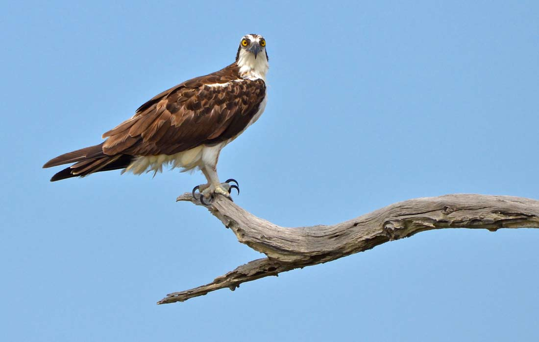 wildlife photo tips osprey