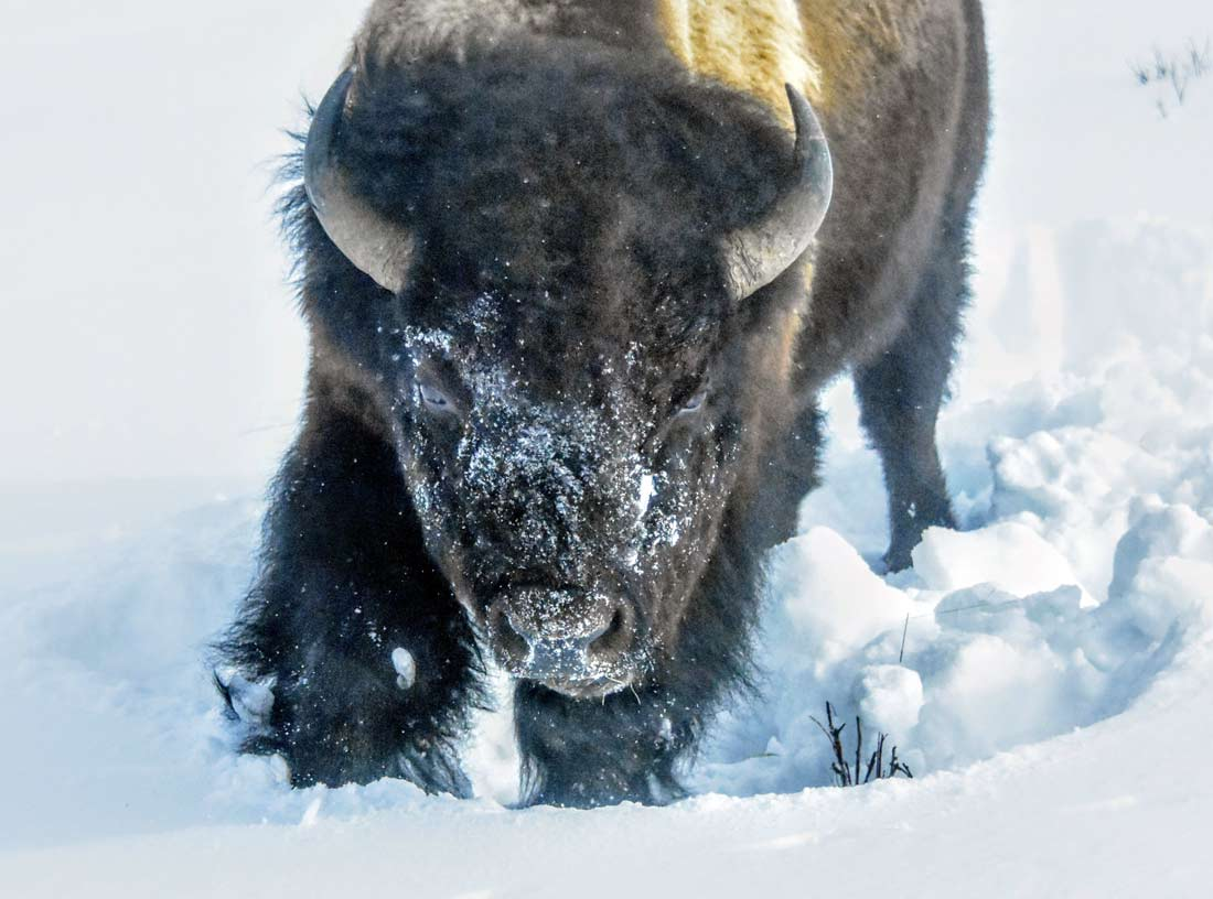 Winter offers great opportunities to view and photography Yellowstone wildlife.