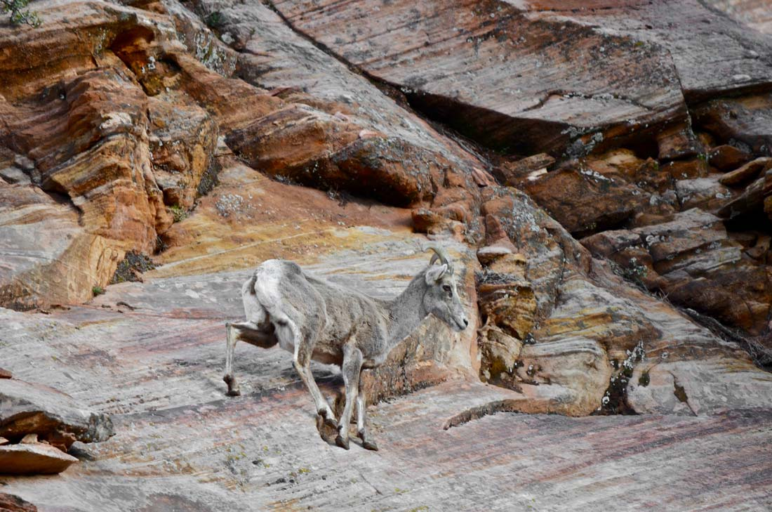Bighorn sheep Zion National Park