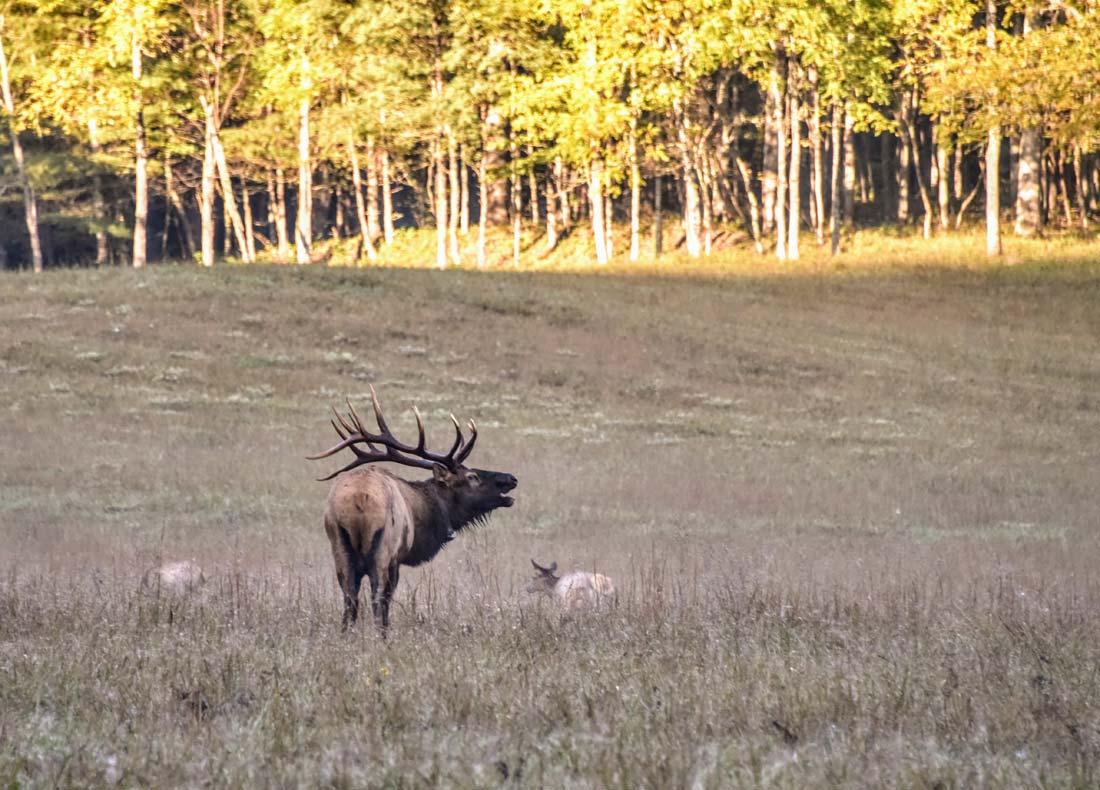 Male elk bugle call