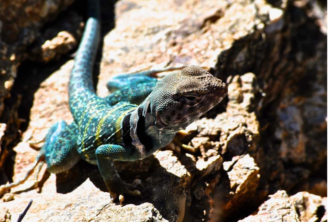 Saguaro National Park Collared Lizard