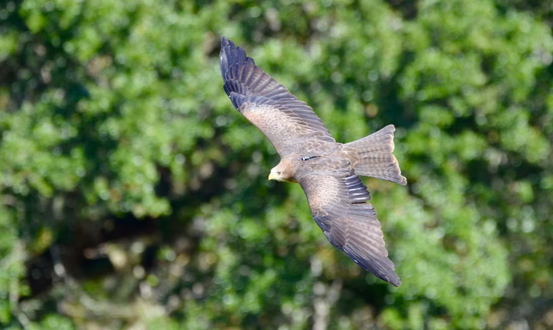 Charleston Bird Prey flight demonstration
