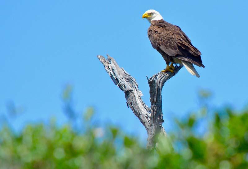 A bald eagle watches over Cape Romain near Charleston.