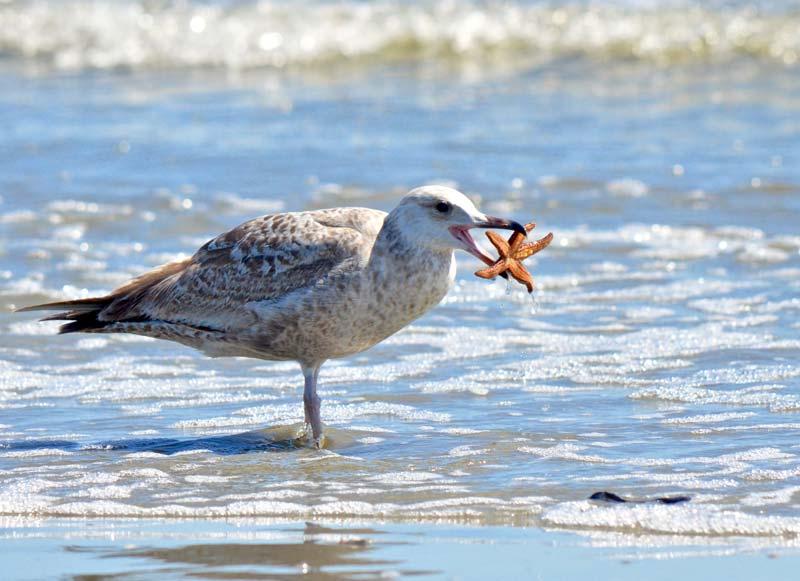 gull sea star Cape Romain Charleston SC