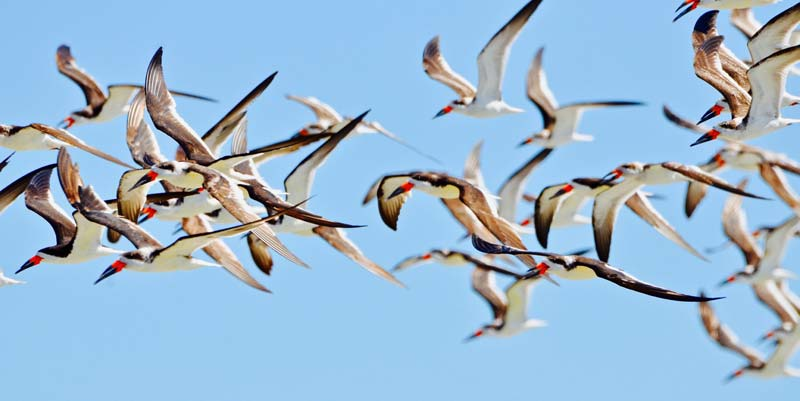 Black skimmers at Cape Romain