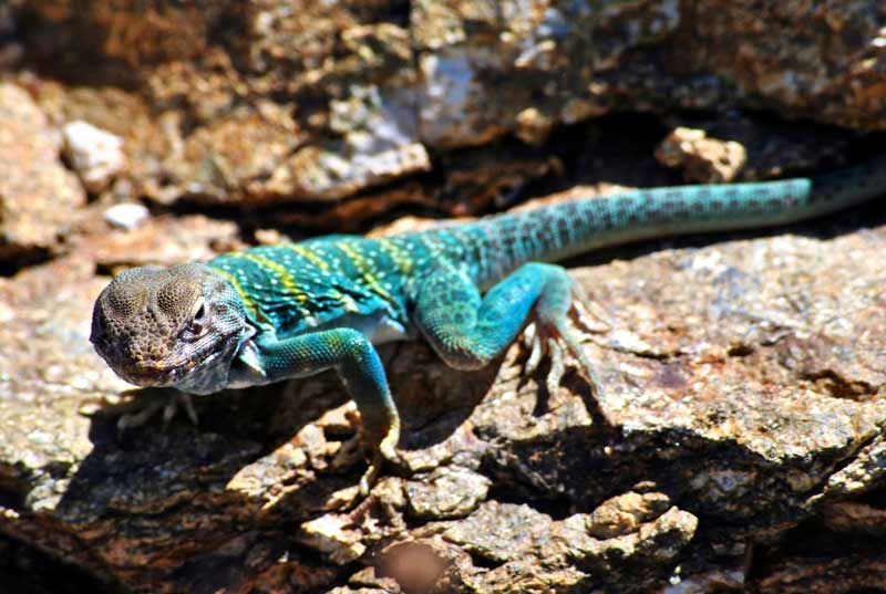 The collared lizard's colors stand out in the Sonoran Desert