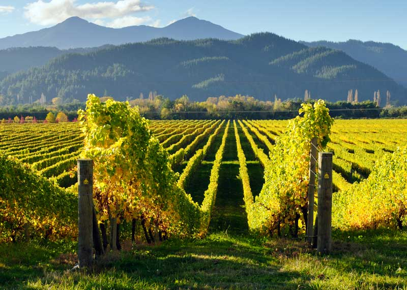 New Zealand is famous for its sauvignon blanc wine