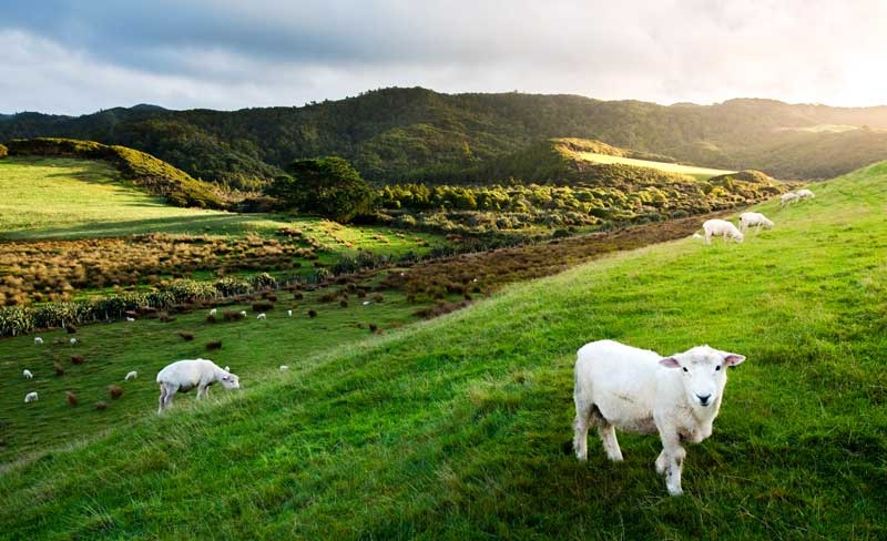 sheep outnumber people new zealand