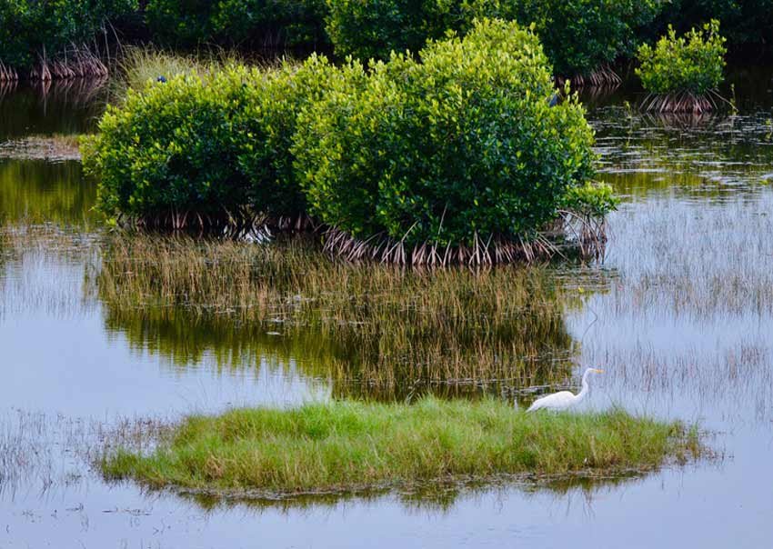 Mangroves protect Everglades