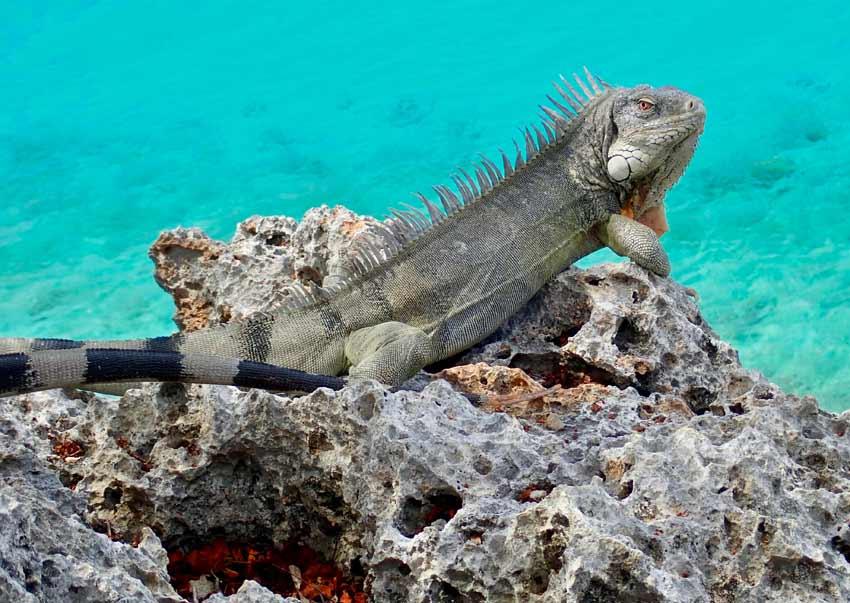 Iguana Stew Bonaire