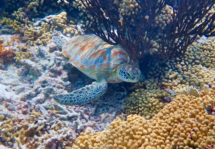 Sea turtle spotting is popular in Bonaire's coral reefs.