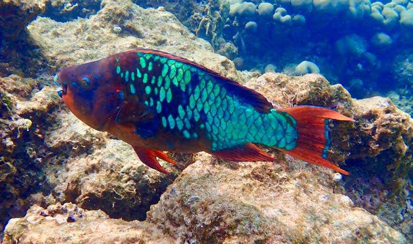 Dive shop staff helped me identify this midnight parrotfish.