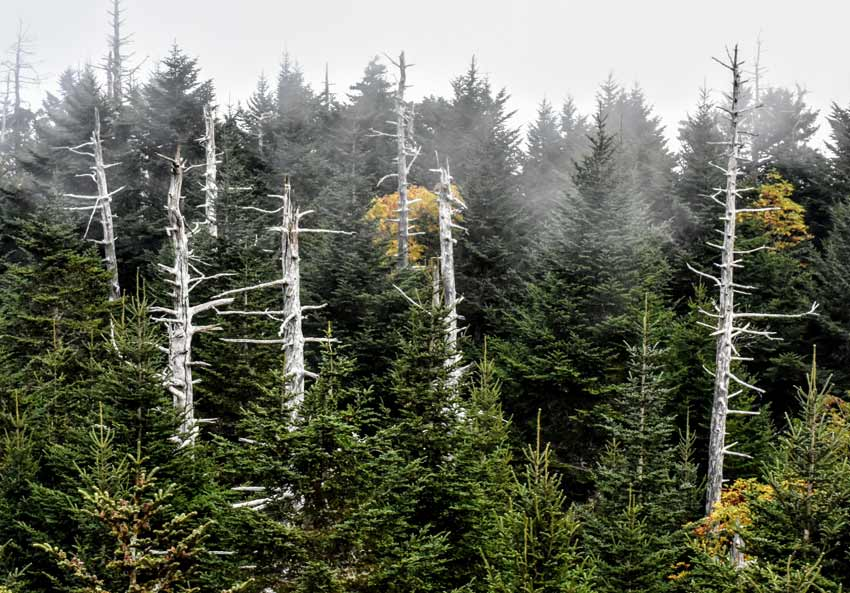 Invasive insect dead hemlock trees smoky mountains