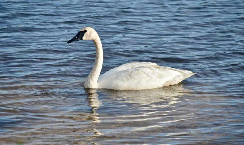 trumpeter swan michigan seney national wildlife refuge
