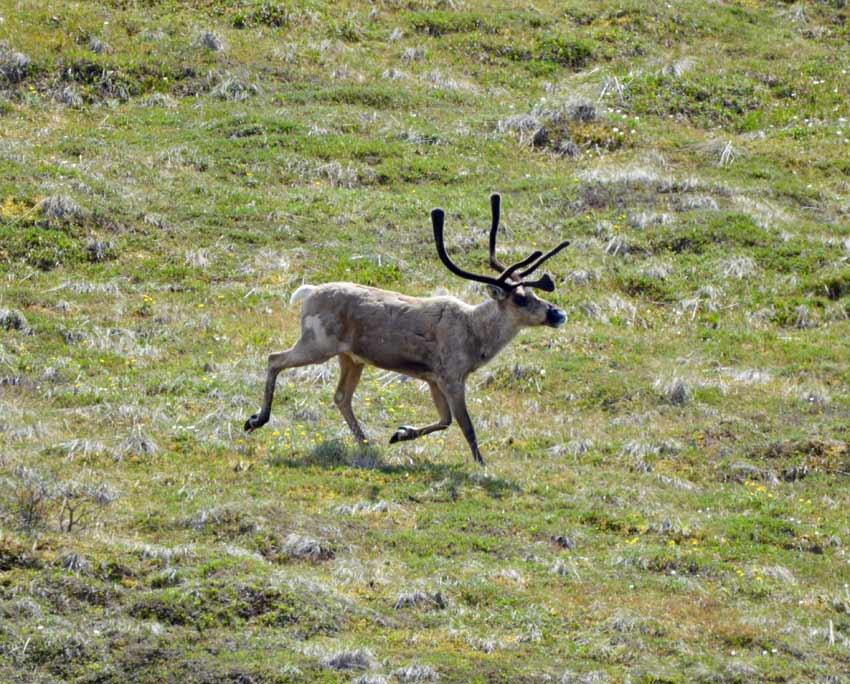 Alaska Denali Caribou