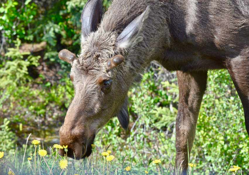 Alaska Denali moose
