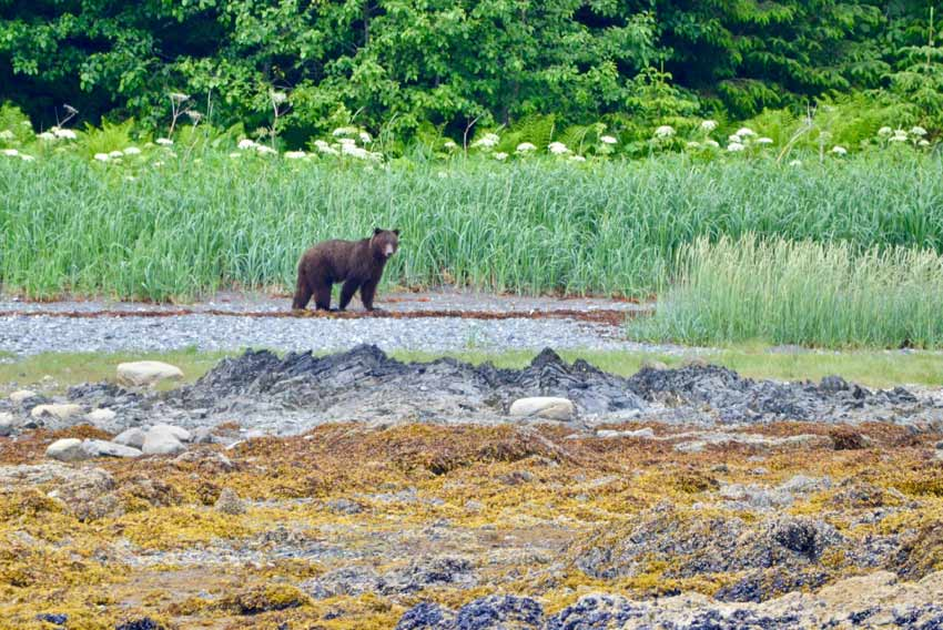UnCruise exceled at getting us close to wildlife and this grizzly bear, while still honoring their wilderness space.