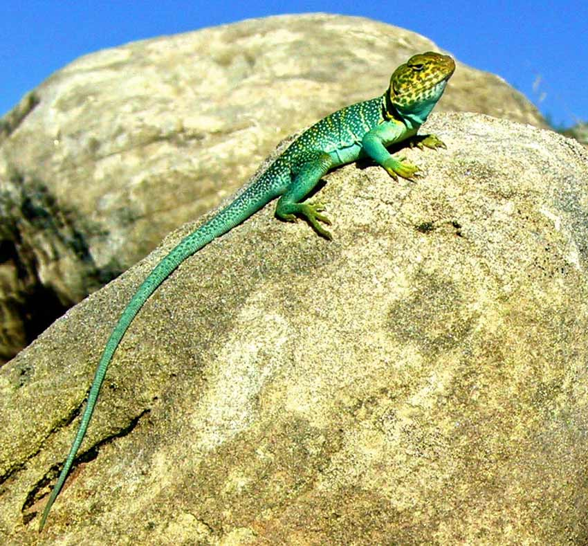 The desert around Moab is home to interesting reptiles, like this collared lizard.