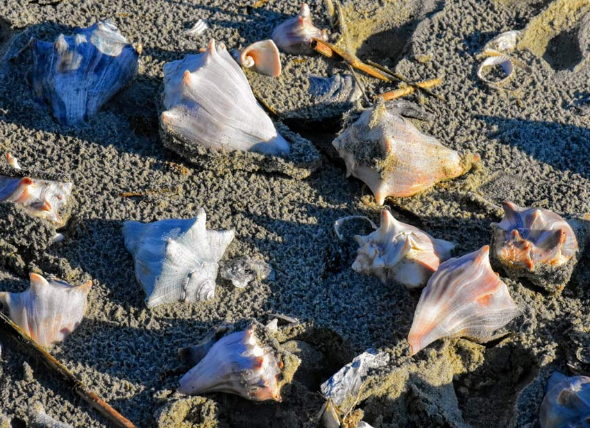 conch shells best place shelling charleston sc