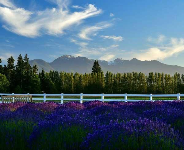 george washington inn bed breakfast olympic seattle lavender farm