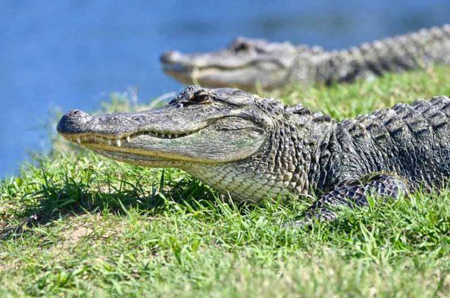 alligator charleston south carolina