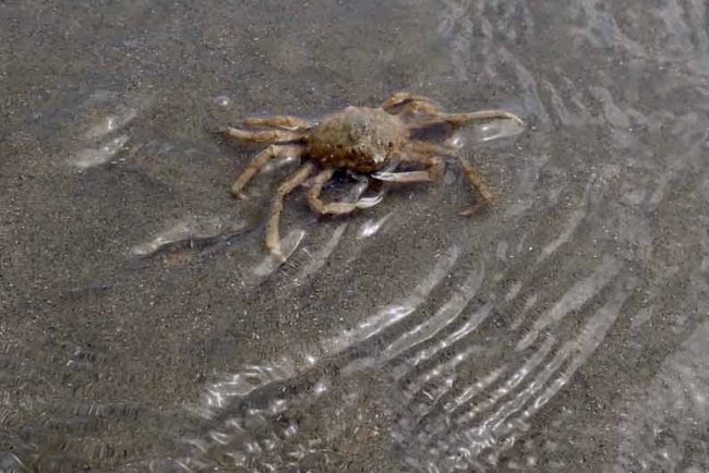 charleston spider crab