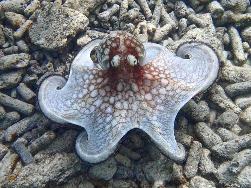 Caribbean Ocean Quiz Octopus