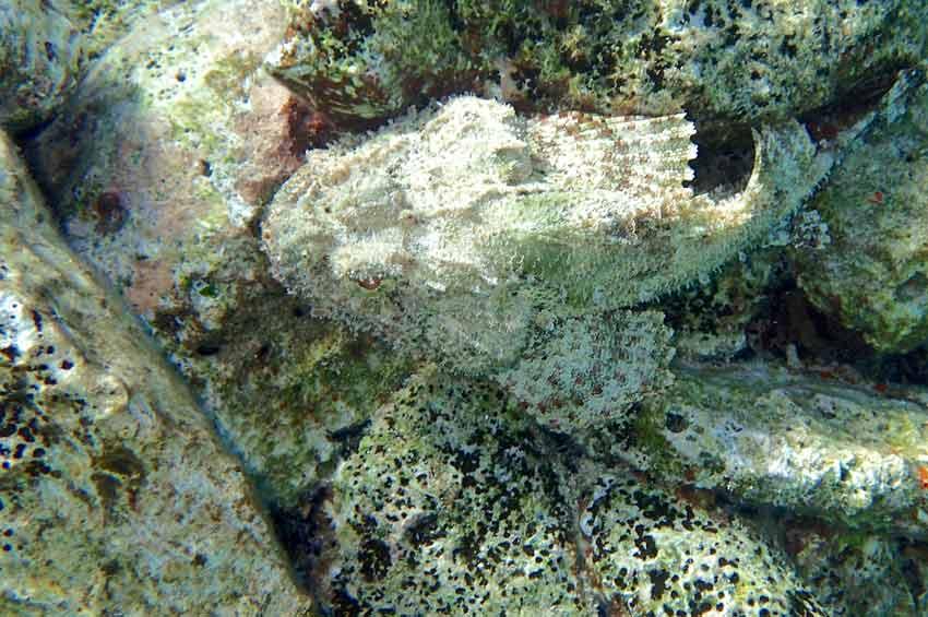 Caribbean Ocean Quiz Scorpion Fish
