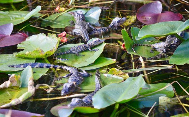 everglades shark valley alligator hatchlings baby