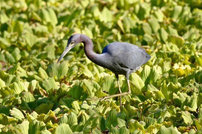 Heron Aududon's Corkscrew Swamp Preserve