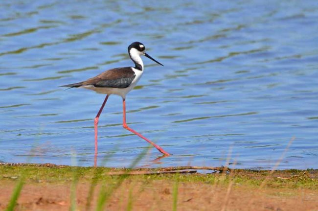 Black-Necked Stilt , Cape Romain National Wildlife Refuge, SC
