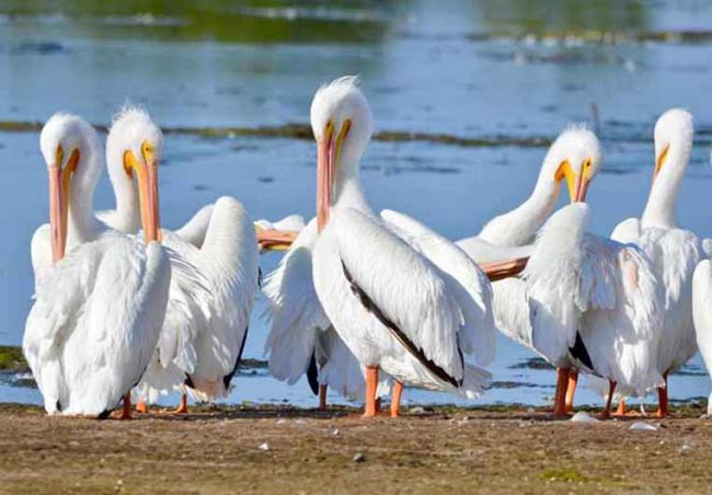 White Pelicans, Ding Darling National Wildlife Refuge, FL