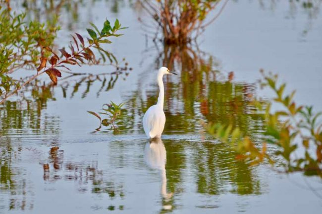 Great Egret, Hagerman National Wildlife Refuge, TX