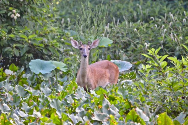 Deer, Pee Dee National Wildlife Refuge, NC