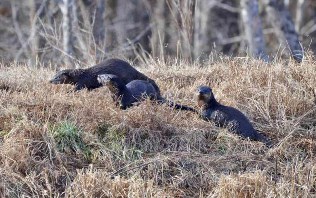 Otters, Pee Dee National Wildlife Refuge, NC
