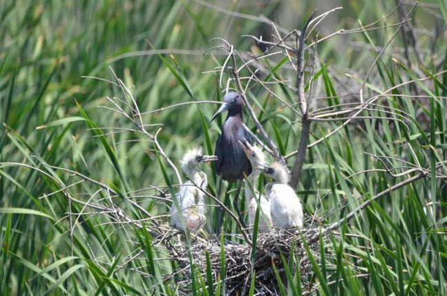 Little Blue Herons at Pinckney Island National Widlife Refuge, SC