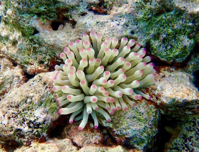Beautiful sea anemones adorn Harbour Village Beach.