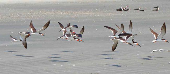 Black skimmers glide along Boneyard Beach near Charleston.