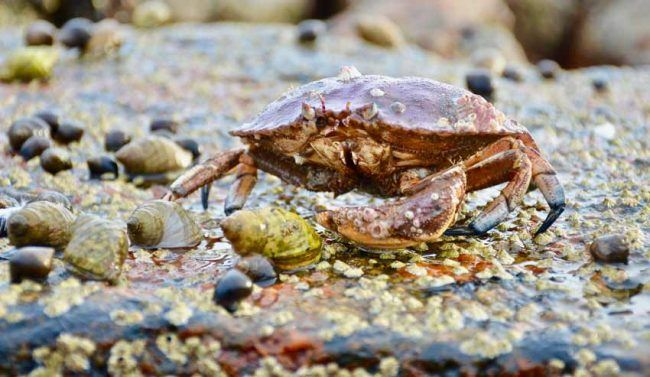 Acadia-National-Park-Crab