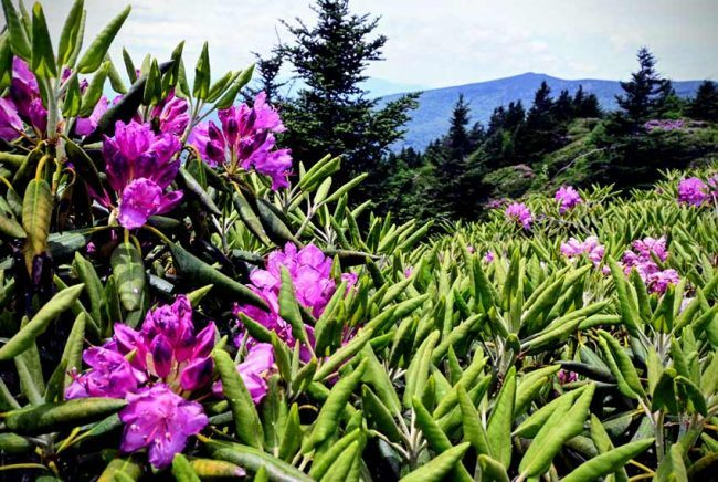 • Roan Mountain is one of the largest Appalachian grass and shrub balds on earth.
