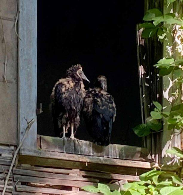 Did you notice these two young vultures in the window of the house above? Look again.