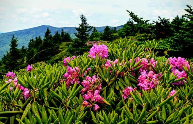 Rhododendron displays against the Blue Ridge Mountains.