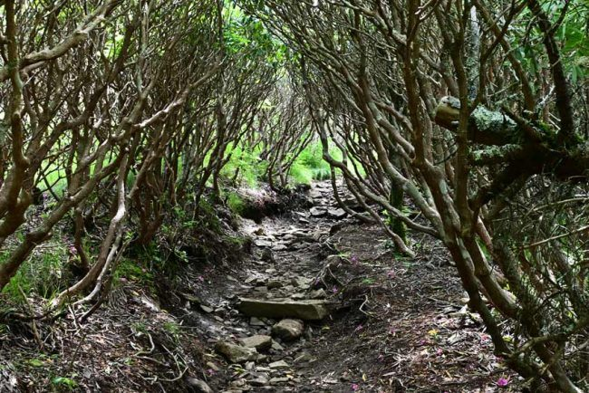 Rhododendron tunnel on the path to Grassy Ridge Bald.